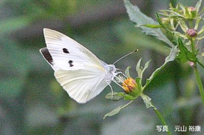 モンシロチョウの画像 p1_13